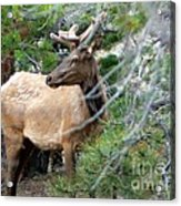 Elk In Rocky Mountain National Park Acrylic Print