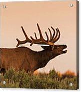 Elk In Velvet On Hill In Yellowstone Acrylic Print