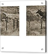 Elk Jumping A Fence Acrylic Print