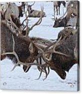 Elk Acrylic Print