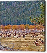 Elk Near Cub Lake Trail In Rocky Mountain National Park-colorado  Acrylic Print