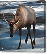 Elk On Ice Acrylic Print