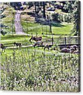 Elk On The Greens Acrylic Print