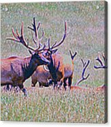Elk On The Plains 3 Acrylic Print