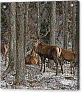 Elk Pictures 45 Acrylic Print