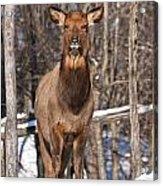 Elk Pictures 50 Acrylic Print
