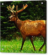 Elk Portrait Acrylic Print