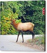Elk Right Of Way Acrylic Print