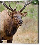 Elk Staring Acrylic Print