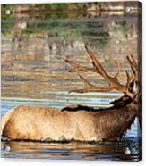 Elk Cooling Down In Lake Acrylic Print