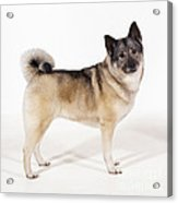 Elkhound Dog Acrylic Print