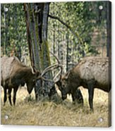 Elks Sparring Yellowstone Np Wyoming Acrylic Print