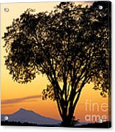 Elm At Twilight Acrylic Print