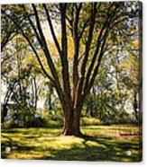 Elm In The Sunshine Acrylic Print