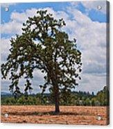 Elm Tree In Hay Field Art Prints Acrylic Print