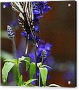 Elusive Zebra Swallowtail Acrylic Print