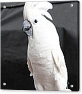 Elvis The Cockatoo Acrylic Print