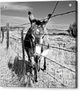 Elwood In Montana Acrylic Print