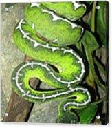 Emerald Tree Boa Acrylic Print