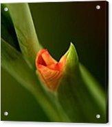 Emerging Beauty - Gladiolus Acrylic Print