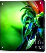 Emerging Coneflower Acrylic Print