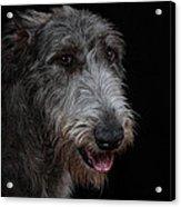 Irish Wolfhound II Acrylic Print