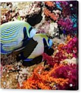 Emperor Angelfish On A Reef Acrylic Print