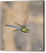 Emperor Dragonfly Acrylic Print