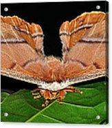 Emperor Gum Moth - 6 Inch Wing Span Acrylic Print