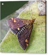 Emperor Moth Acrylic Print