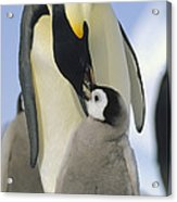 Emperor Penguin Parent Feeding Chick Acrylic Print