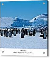 Emperor Penguin Rookery Acrylic Print by David Barringhaus