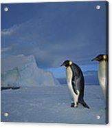Emperor Penguins At Midnight Antarctica Acrylic Print