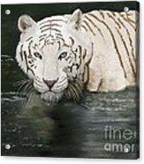 Emperor  Acrylic Print by Sydne Archambault