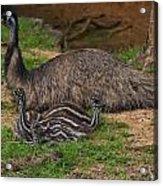 Emu And Chicks Acrylic Print