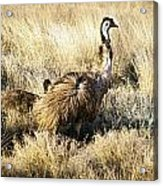 Emu Chicks Acrylic Print by Tim Hester