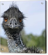 Emu Gaze Acrylic Print