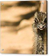 Emu Portrait Acrylic Print