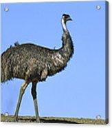 Emu Portrait Sturt National Park Acrylic Print