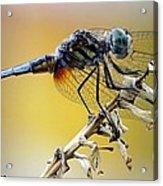 Enchanting Dragonfly Acrylic Print