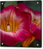 Stictocardia Beraviensis Hawaiian Sunset Vine Enchanting Floral Acrylic Print