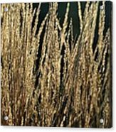 End Of Summer Grasses Acrylic Print