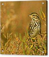Endangered Beldings Savannah Sparrow - Huntington Beach California Acrylic Print