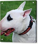 English Bull Terrier Acrylic Print