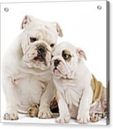 English Bulldog, Adult And Puppy Acrylic Print