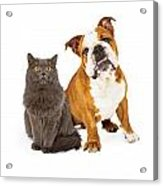 English Bulldog And Gray Cat Acrylic Print