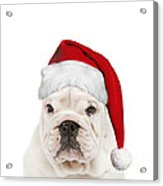 English Bulldog In Christmas Hat Acrylic Print
