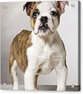 English Bulldog Acrylic Print