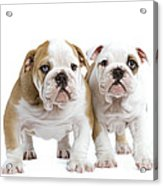 English Bulldog Puppies Acrylic Print