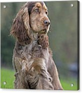English Cocker Spaniel Dog Acrylic Print